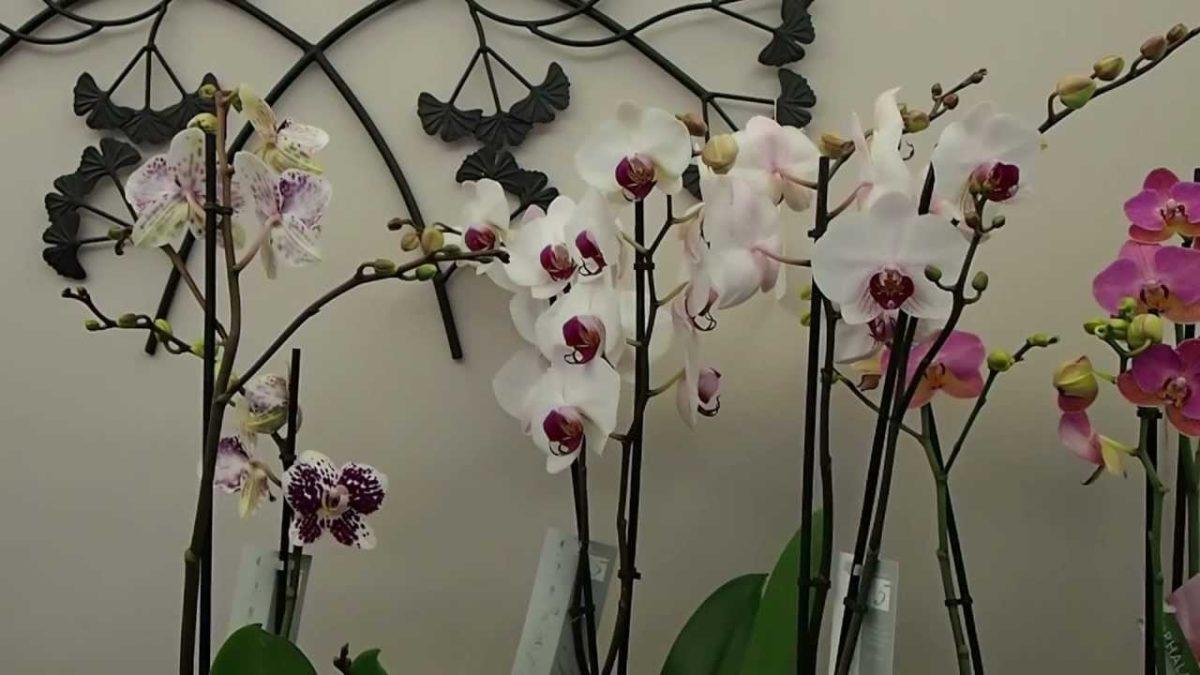 comment entretenir une orchidee. Black Bedroom Furniture Sets. Home Design Ideas